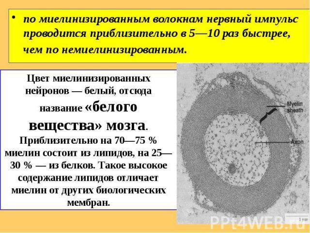 по миелинизированным волокнам нервный импульс проводится приблизительно в 5—10 раз быстрее, чем по немиелинизированным. по миелинизированным волокнам нервный импульс проводится приблизительно в 5—10 раз быстрее, чем по немиелинизированным.