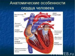Анатомические особенности сердца человека