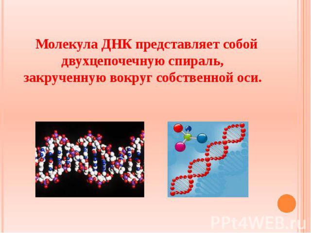 Молекула ДНК представляет собой двухцепочечную спираль, закрученную вокруг собственной оси. Молекула ДНК представляет собой двухцепочечную спираль, закрученную вокруг собственной оси.