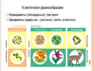Клеточное разнообразие Прокариоты (безъядерные)- бактерии Эукариоты (ядерные) –