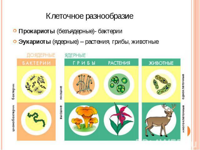 Клеточное разнообразие Прокариоты (безъядерные)- бактерии Эукариоты (ядерные) – растения, грибы, животные