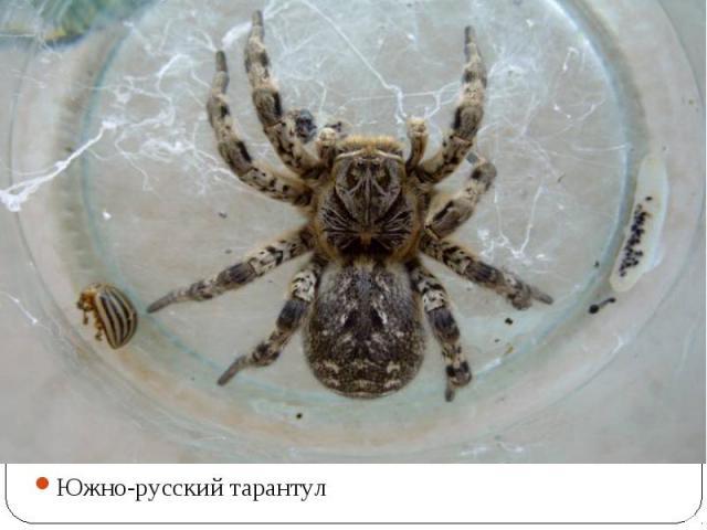 Южно-русский тарантул Южно-русский тарантул