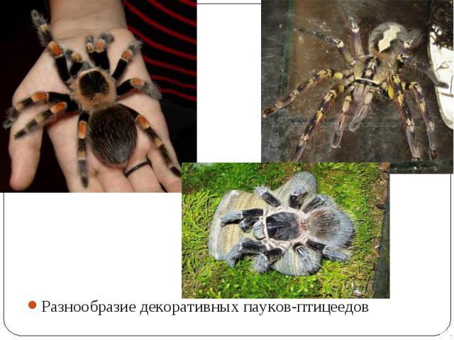 Разнообразие декоративных пауков-птицеедов Разнообразие декоративных пауков-птицеедов