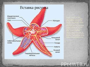 В центре с нижней (оральной) стороны морской звезды находится ротовое отверстие.