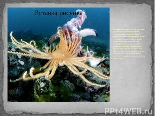 Эти животные - хищники. Питаются звезды моллюсками и различными донными беспозво