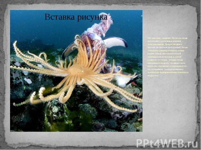 Эти животные - хищники. Питаются звезды моллюсками и различными донными беспозвоночными. Процесс питания у морских звезд весьма своеобразный! Звезда обхватывает раковину моллюска своими руками-лучами, присасывается к ней амбулакральными ножками и с …