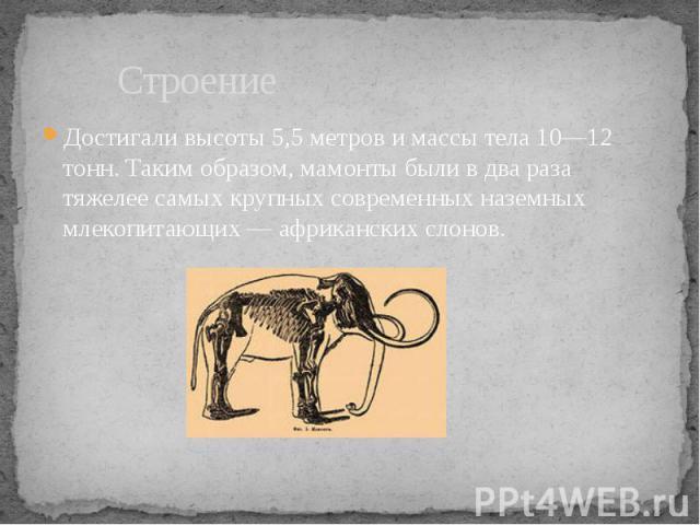 Строение Достигали высоты 5,5 метров и массы тела 10—12 тонн. Таким образом, мамонты были в два раза тяжелее самых крупных современных наземных млекопитающих — африканских слонов.