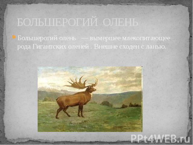 БОЛЬШЕРОГИЙ ОЛЕНЬ Большерогий олень — вымершее млекопитающее рода Гигантских оленей . Внешне сходен с ланью.