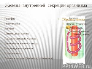 Железы внутренней секреции организма Гипофиз Гипоталамус Эпифиз Щитовидная желез