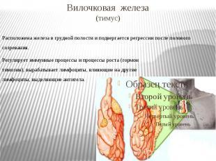 Вилочковая железа (тимус)