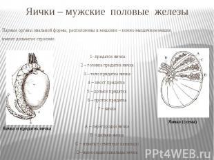 Яички – мужские половые железы Парные органы овальной формы, расположены в мошон