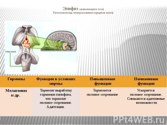 Эпифиз (шишковидное тело) Расположен над четверохолмием (придаток мозга)