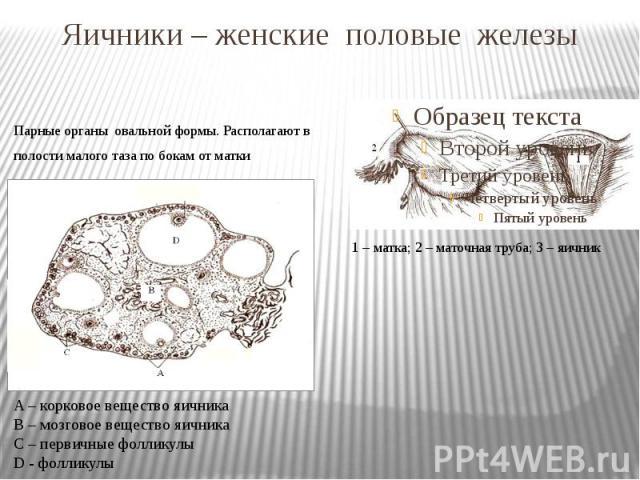 Яичники – женские половые железы