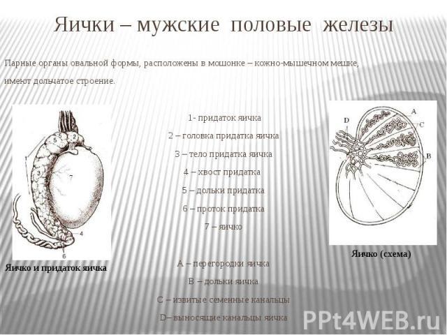 Яички – мужские половые железы Парные органы овальной формы, расположены в мошонке – кожно-мышечном мешке, имеют дольчатое строение. 1- придаток яичка 2 – головка придатка яичка 3 – тело придатка яичка 4 – хвост придатка 5 – дольки придатка 6 – прот…