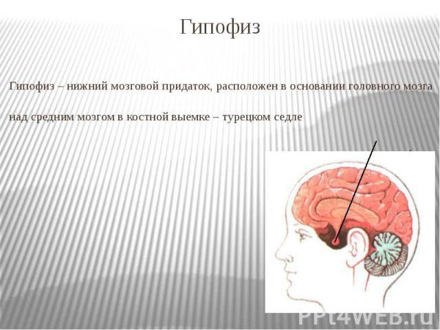 Гипофиз Гипофиз – нижний мозговой придаток, расположен в основании головного мозга над средним мозгом в костной выемке – турецком седле гипофиз
