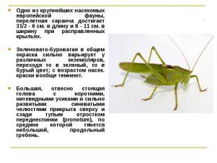 Одно из крупнейших насекомых европейской фауны, перелетная саранча достигает 31/