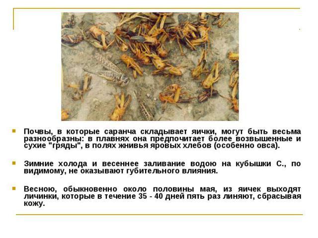 """Почвы, в которые саранча складывает яички, могут быть весьма разнообразны: в плавнях она предпочитает более возвышенные и сухие """"гряды"""", в полях жнивья яровых хлебов (особенно овса). Почвы, в которые саранча складывает яички, могут быть ве…"""