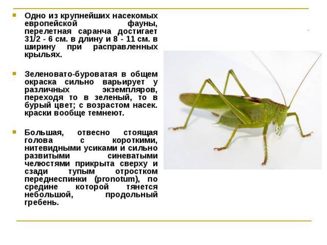 Одно из крупнейших насекомых европейской фауны, перелетная саранча достигает 31/2 - 6 см. в длину и 8 - 11 см. в ширину при расправленных крыльях. Одно из крупнейших насекомых европейской фауны, перелетная саранча достигает 31/2 - 6 см. в длину и 8 …