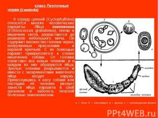 класс Ленточные черви (Caestoda) К отряду цепней (Cyclophyllidea) относятся мног