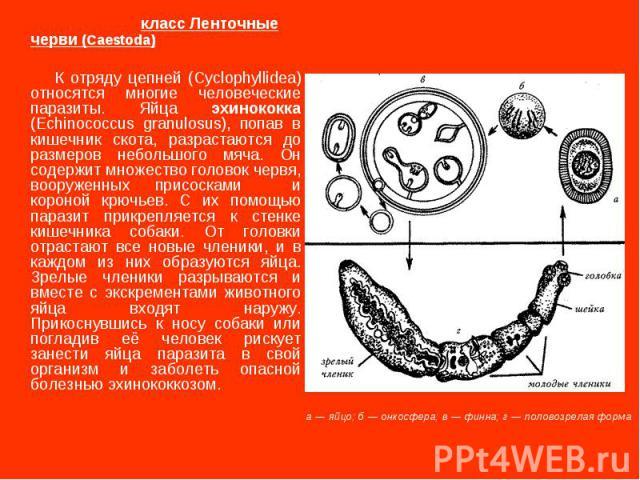 класс Ленточные черви (Caestoda) К отряду цепней (Cyclophyllidea) относятся многие человеческие паразиты. Яйца эхинококка (Echinococcus granulosus), попав в кишечник скота, разрастаются до размеров небольшого мяча. Он содержит множество головок черв…