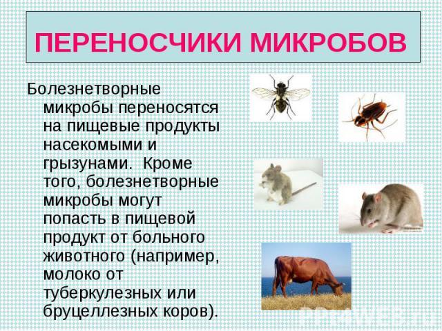 Болезнетворные микробы переносятся на пищевые продукты насекомыми и грызунами. Кроме того, болезнетворные микробы могут попасть в пищевой продукт от больного животного (например, молоко от туберкулезных или бруцеллезных коров). Болезнетворные микроб…