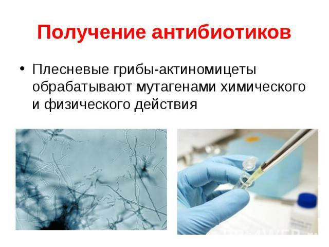 Плесневые грибы-актиномицеты обрабатывают мутагенами химического и физического действия Плесневые грибы-актиномицеты обрабатывают мутагенами химического и физического действия