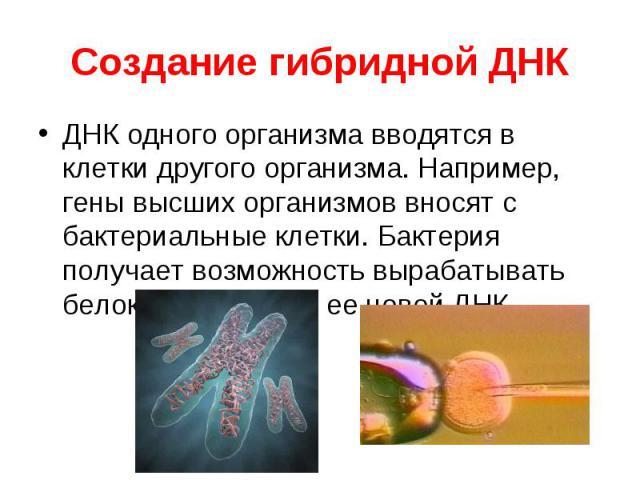 ДНК одного организма вводятся в клетки другого организма. Например, гены высших организмов вносят с бактериальные клетки. Бактерия получает возможность вырабатывать белок, кодируемый ее новой ДНК ДНК одного организма вводятся в клетки другого органи…