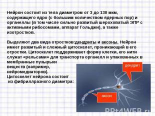 Нейрон состоит из тела диаметром от 3 до 130 мкм, содержащего ядро (с большим ко