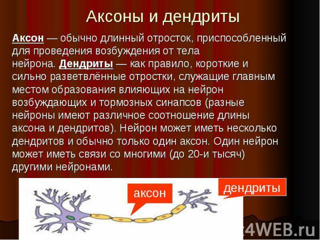 Аксоны и дендриты Аксон — обычно длинный отросток, приспособленный для проведениявозбужденияот тела нейрона.Дендриты — как правило, короткие и сильно разветвлённые отростки, служащие главным местом образования влияющих на нейрон во…