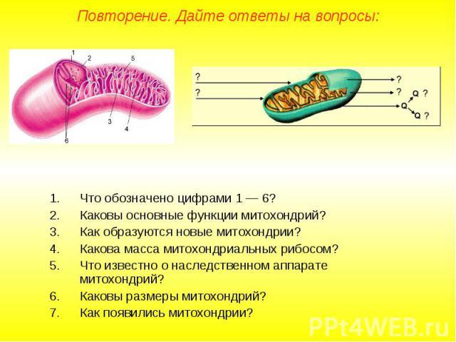 Что обозначено цифрами 1 — 6? Что обозначено цифрами 1 — 6? Каковы основные функции митохондрий? Как образуются новые митохондрии? Какова масса митохондриальных рибосом? Что известно о наследственном аппарате митохондрий? Каковы размеры митохондрий?…