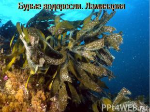 Бурые водоросли (ламинария)
