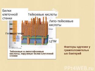 Тейхоевые и липотейхоевые кислоты, наружные белки клеточной стенки Тейхоевые и л