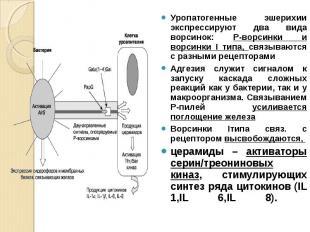 Уропатогенные эшерихии экспрессируют два вида ворсинок: Р-ворсинки и ворсинки I
