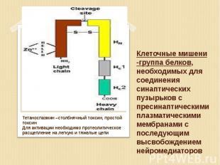 Тетаноспазмин –столбнячный токсин, простой токсин Тетаноспазмин –столбнячный ток