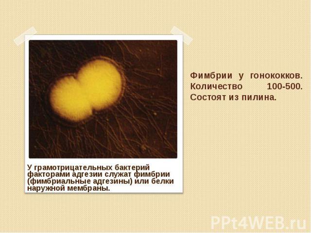 У грамотрицательных бактерий факторами адгезии служат фимбрии (фимбриальные адгезины) или белки наружной мембраны. У грамотрицательных бактерий факторами адгезии служат фимбрии (фимбриальные адгезины) или белки наружной мембраны.