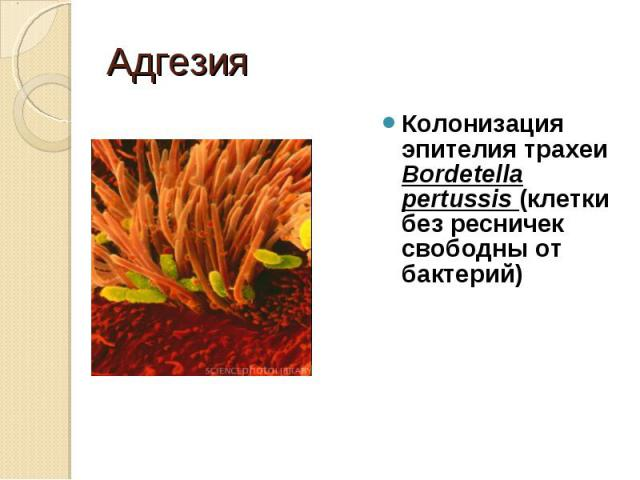 Колонизация эпителия трахеи Bordetella pertussis (клетки без ресничек свободны от бактерий) Колонизация эпителия трахеи Bordetella pertussis (клетки без ресничек свободны от бактерий)