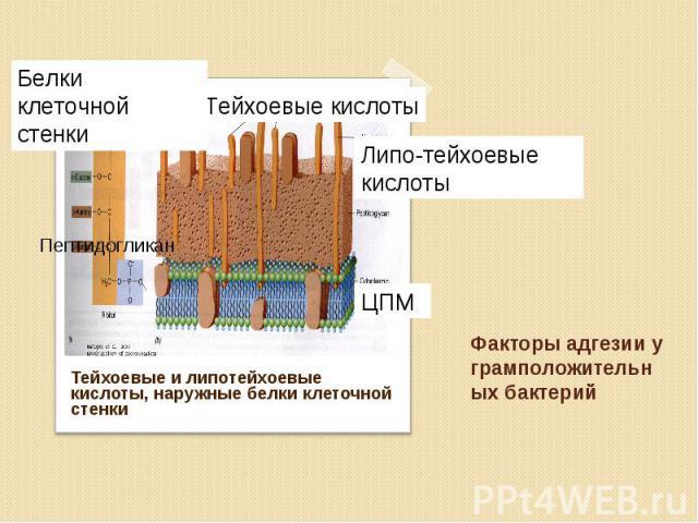 Тейхоевые и липотейхоевые кислоты, наружные белки клеточной стенки Тейхоевые и липотейхоевые кислоты, наружные белки клеточной стенки
