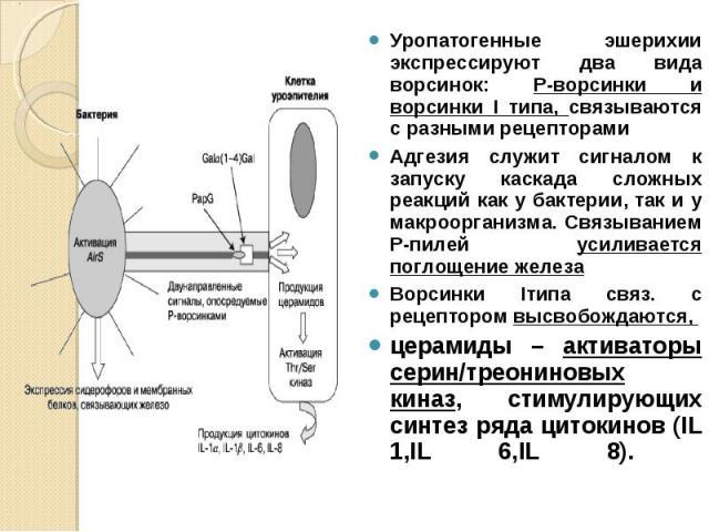 Уропатогенные эшерихии экспрессируют два вида ворсинок: Р-ворсинки и ворсинки I типа, связываются с разными рецепторами Уропатогенные эшерихии экспрессируют два вида ворсинок: Р-ворсинки и ворсинки I типа, связываются с разными рецепторами Адгезия с…
