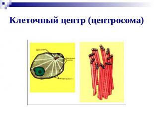 Клеточный центр (центросома)
