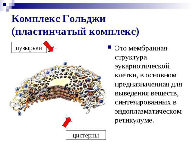 Комплекс Гольджи (пластинчатый комплекс) Это мембранная структура эукариотической клетки, в основном предназначенная для выведения веществ, синтезированных в эндоплазматическом ретикулуме.