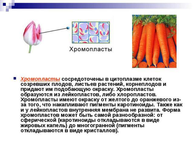Хромопласты сосредоточены в цитоплазме клеток созревших плодов, листьев растений, корнеплодов и придают им подобающую окраску. Хромопласты образуются из лейкопластов, либо хлоропластов. Хромопласты имеют окраску от желтого до оранжевого из-за того, …