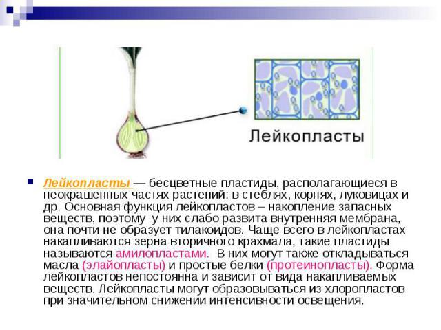 Лейкопласты — бесцветные пластиды, располагающиеся в неокрашенных частях растений: в стеблях, корнях, луковицах и др. Основная функция лейкопластов – накопление запасных веществ, поэтому у них слабо развита внутренняя мембрана, она почти не образует…