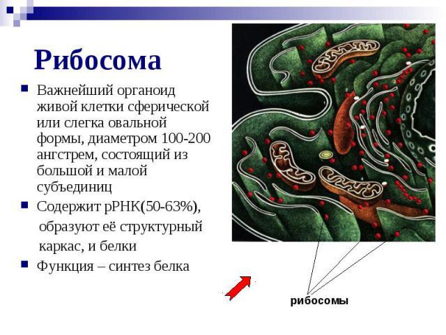 Рибосома Важнейший органоид живой клетки сферической или слегка овальной формы, диаметром 100-200 ангстрем, состоящий из большой и малой субъединиц Содержит рРНК(50-63%), образуют её структурный каркас, и белки Функция – синтез белка