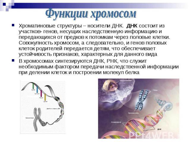 Хроматиновые структуры – носители ДНК. ДНК состоит из участков- генов, несущих наследственную информацию и передающихся от предков к потомкам через половые клетки. Совокупность хромосом, а следовательно, и генов половых клеток родителей передается д…