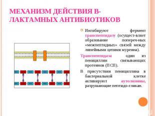 Ингибируют фермент транспептидазу (осущест-вляет образование попереч-ных «межпеп