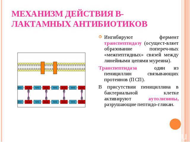 Ингибируют фермент транспептидазу (осущест-вляет образование попереч-ных «межпептидных» связей между линейными цепями муреина). Ингибируют фермент транспептидазу (осущест-вляет образование попереч-ных «межпептидных» связей между линейными цепями мур…
