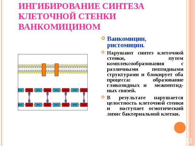 Ванкомицин, ристомицин. Ванкомицин, ристомицин. Нарушают синтез клеточной стенки, путем комплексообразования с различными пептидными структурами и блокирует оба процесса: образование гликозидных и межпептид-ных связей. В результате нарушается целост…