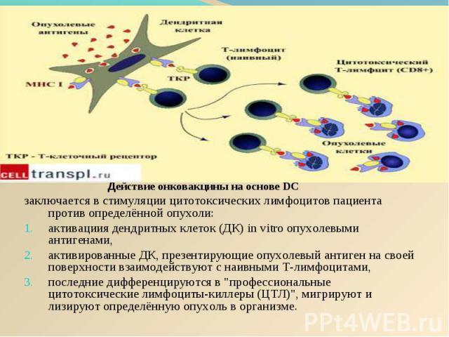 Действие онковакцины на основе DC Действие онковакцины на основе DC заключается в стимуляции цитотоксических лимфоцитов пациента против определённой опухоли: активациия дендритных клеток (ДК) in vitro опухолевыми антигенами, активированные ДК, презе…