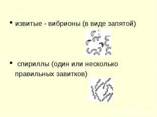 извитые - вибрионы (в виде запятой) извитые - вибрионы (в виде запятой) спириллы