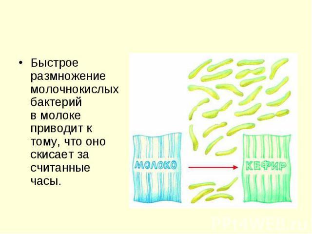 Быстрое размножение молочнокислых бактерий вмолоке приводит к тому, что оно скисает за считанные часы. Быстрое размножение молочнокислых бактерий вмолоке приводит к тому, что оно скисает за считанные часы.